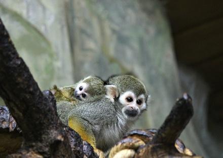 Детеныш обезьяны саймири родился в нижегородском зоопарке