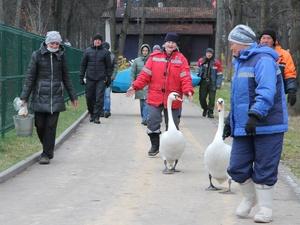Пара лебедей из парка в Выксе переехала на зимовку в ангар