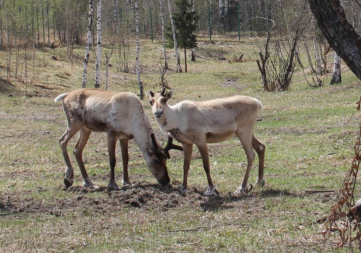 До 21 увеличилось число краснокнижных оленей в Керженском заповеднике - фото 1