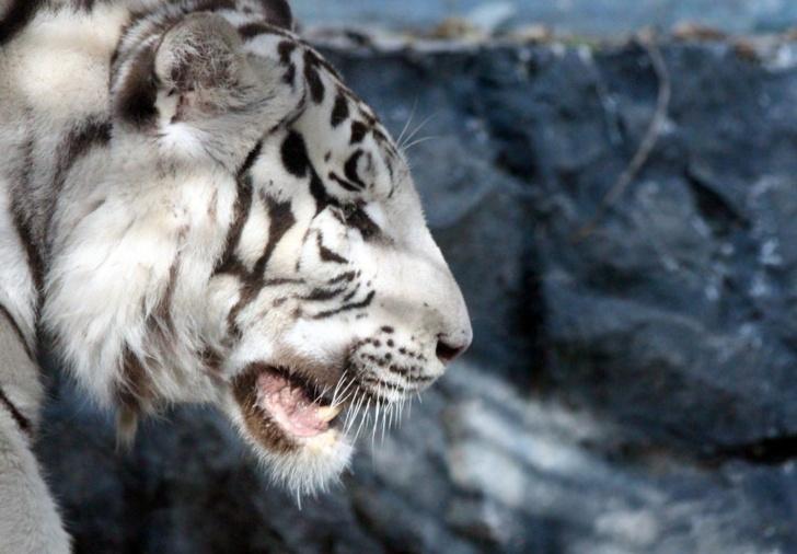 Страховая компания взяла под опеку бенгальского тигра
