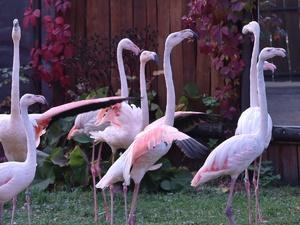 Прилетевшие пять лет назад фламинго адаптировались в нижегородском зоопарке