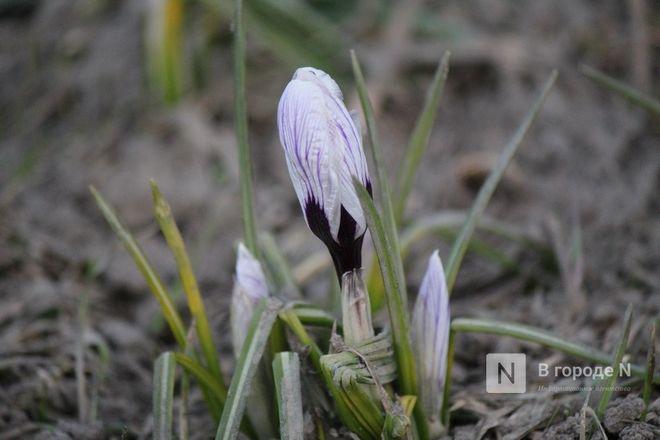 Первые цветы распустились в Нижнем Новгороде - фото 8